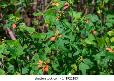Dwarf poinsettia a.k.a. fire-on-the-mountain (Euphorbia cyathophora) - Topeekeegee Yugnee (TY) Park, Hollywood, Florida, USA