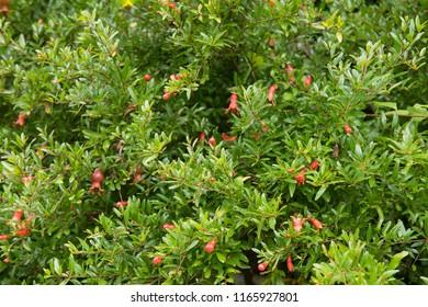 Dwarf Pomegranate Shrub (Punica granatum var. nana) in a Country Cottage Garden in Rural Devon, England, UK
