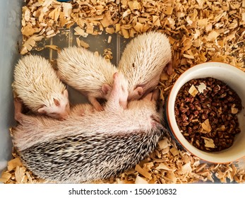 Dwarf porcupine for breastfeeding,Dwarf porcupine,mammal