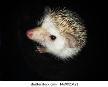 Dwarf porcupine in a dark corner
