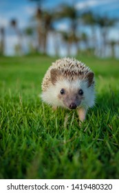 Dwarf porcupine on the grass With the sunset in the park