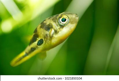 Dwarf Pufferfish (Carinotetraodon tranvancoricus)
