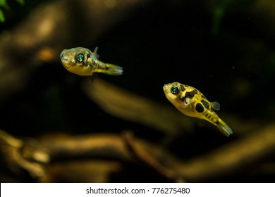 Dwarf pufferfish (Carinotetraodon travancoricus) close-up shots