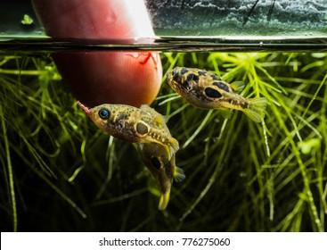 Dwarf pufferfish (Carinotetraodon travancoricus) hand feeding close-up shots