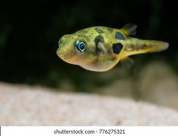 Dwarf / pygmy pufferfish (Carinotetraodon travancoricus) close-up shots