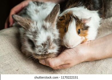 Dwarf rabbit and Abyssinian rosette guinea pig are sitting at the woman's lap