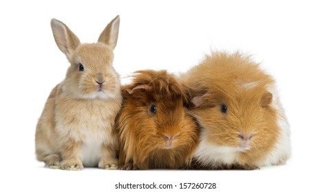 Dwarf rabbit and Guinea Pigs, isolated on white