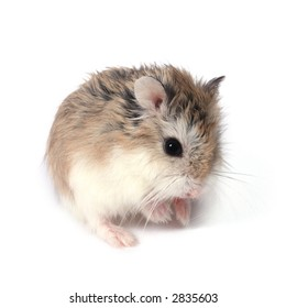 Dwarf Roborovski (Phodopus Roborovskii) hamster isolated on white background