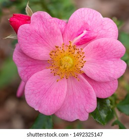 Dwarf rose (Rosa patio), bee-friendly flower of summer