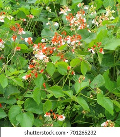 Dwarf Runner Beans (Phaseolus coccineus 'Sweepstake') Growing on an Allotment in Rural Devon, England, UK