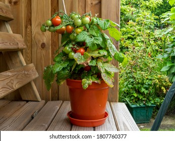 Dwarf tomato plant in a pot with ripe and unripe tomatoes, variety Red Robin