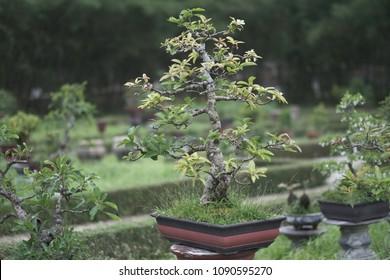 Dwarf trees in pots on stone pedestals in the park. Vietnam.