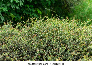 Dwarf yaupon holly (Ilex vomitoria schillings) - Davie, Florida, USA