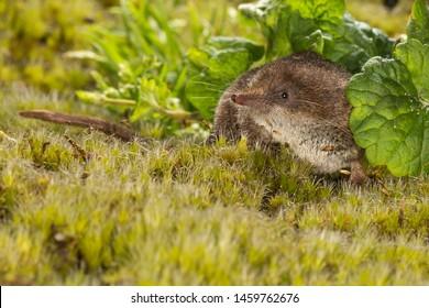Dwergspitsmuis foeragerend in de vegetatie, Pygmy Shrew foeraging in the vegetation