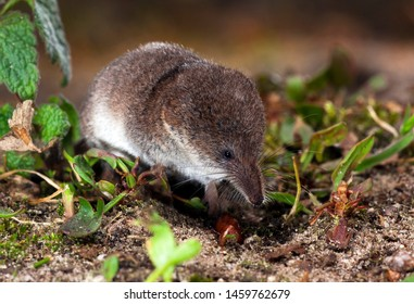 Dwergspitsmuis foeragerend, Pygmy shrew foraging