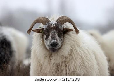 Dwingelderveld, the Netherlands- February 7, 2021: Drenthe heath sheep in the snow in Dwingelderveld, the Netherlands