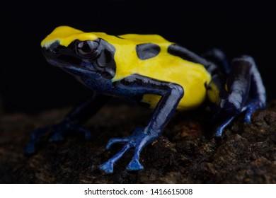 "Dyeing dart frog (Dendrobates Tinctorius) ""Citronella"""