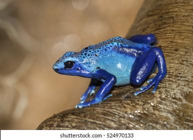 Dyeing poison dart frog (Dendrobates tinctorius).