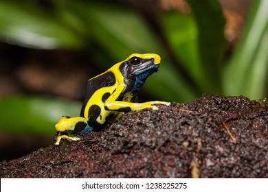 """Dyeing poison dart frog """"Regina"""" on a log in the jungle"""