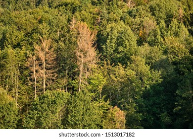 Dying conifers in between healthy deciduous trees in a mixed forest in Bavaria, Germany near Haimendorf