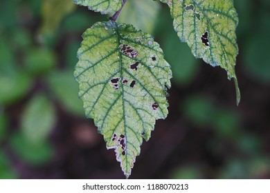dying and diseased chloritic leaf on a dying elm tree Latin ulmus or frondibus ulmi suffering from dutch elm disease also called grafiosi del olmo in Italy