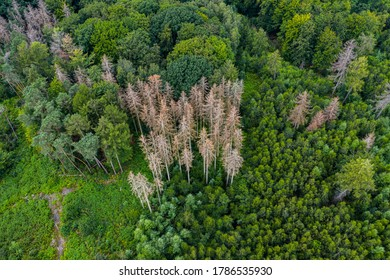 Dying forests - conifers die due to drought and climate change