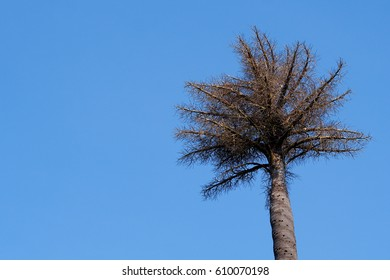 Dying Palm Tree with blue sky.The palm tree dies.