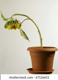 dying plant / sunflower in plastic pot.