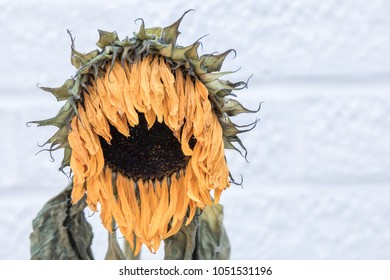 Dying sunflower in the shape of the head and shoulders of an old man