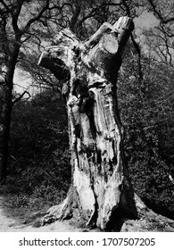 A dying tree on Wimbledon Common.
