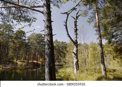 Dying trees with broken branches on the bank of a forest zer