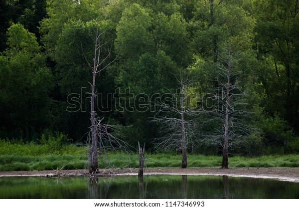 Dying Trees in the Water