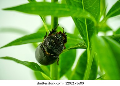 Dynastinae or Coleoptera on a green tree on a green tree ,The Coleoptera or Dynastinae on branch with burred nature background