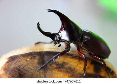 dynastinae ,fighting  beetle is eating  cultivated banana