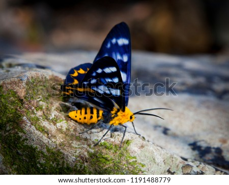 Dysphania numana, Yellow, Black, White, Blue Moth sat on a rock. Large colorful insect in Australia.