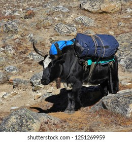 Dzo, hybrid between the yak and domestic cattle. Used as pack animals in the Everest National Park, Nepal.