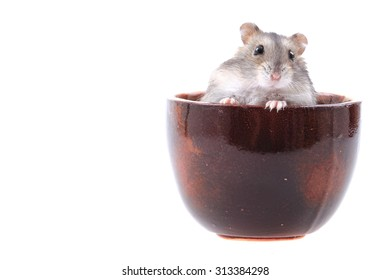 dzungarian mouse isolated on the white background