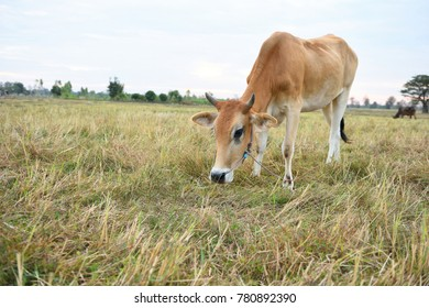 e cows are eating grass for pleasure in the fields.