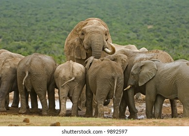 Each Elephant herd is headed by a large Bull, here seen looking over his subjects