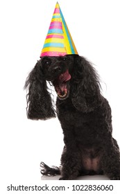 eager birthday poodle is ready to eat the cake on white background