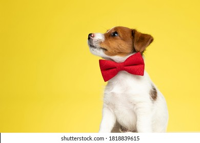 Eager Jack Russell Terrier wearing bowtie and curiously looking up while sitting on yellow studio background