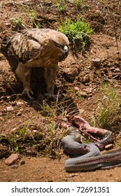 An eagle was approaching a dead snake
