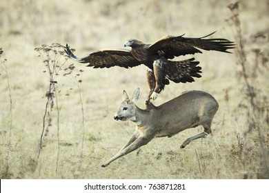 Eagle Attack catching doe,  Lucky escape.