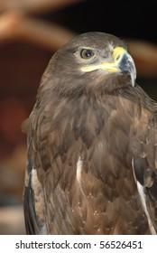 eagle bird close up