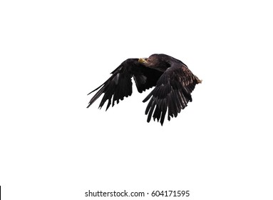 Eagle black flying serious profile isolated at the white