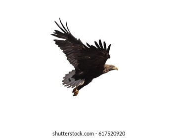 Eagle brown with white tail flying isolated at white