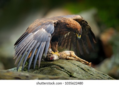 Eagle catch deer. Golden Eagle, Aquila chrysaetos, feeding on killed animal in rock stone mountains. Animal behavior, bird with open wings with catch. Austrian nature wildlife.
