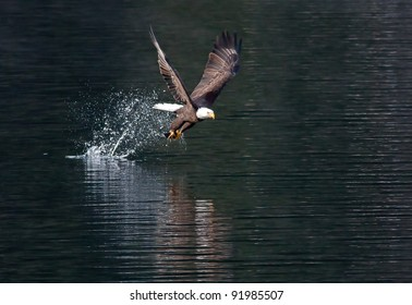 Eagle catches fish then flies off.