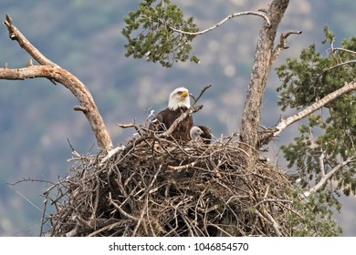 Eagle and chick at Los Angeles nest