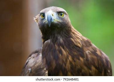 Eagle close up in nature